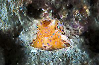 Thornback Cowfish portrait<br /> <br /> Shot in Indonesia
