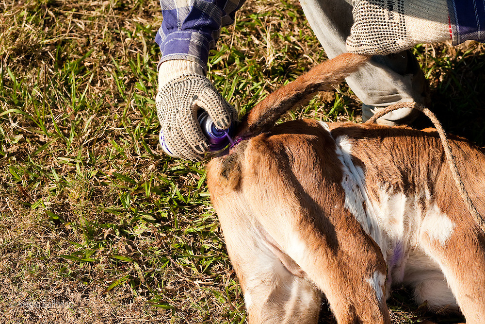A cowboys sprays antibiotic ointment to the rear-end of a calf in the Bolivian Amazon.