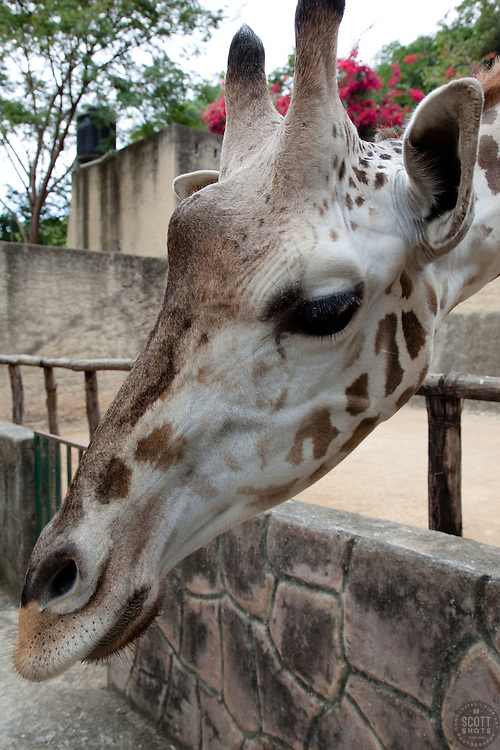 """Giraffe in Puerto Vallarta"" - This friendly giraffe was photographed in the Puerto Vallarta zoo."