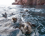 California sea lion pups swim in the ocean with their heads raised out of the water at Los Islotes, Baja California, Mexico.