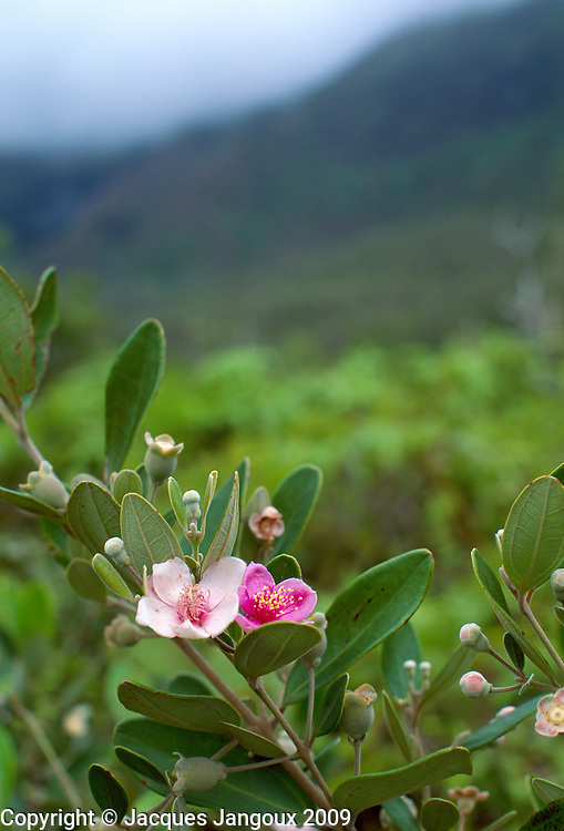 Rhodomyrtus tomentosus (rose myrtle, Myrtaceae), an invasive shrub in Kauai, Hawaii, USA.
