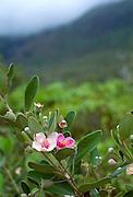 Rhodomyrtus tomentosus (rose myrtle, Myrtaceae), an invasive shrub in Kauai, Hawaii, USA.