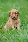 Golden Retriever Puppy, four weeks old, Duncan, British Columbia, Canada
