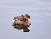 Pied Billed Grebe with a mantle of feathers/fluff on its back.