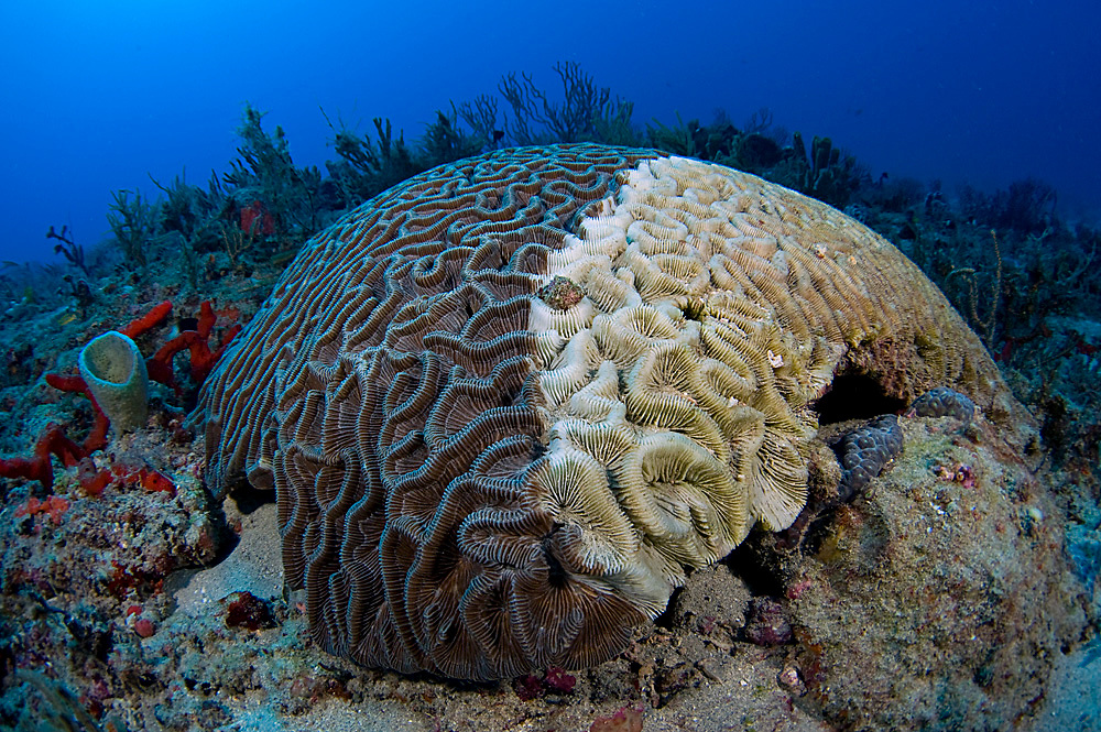 Brain Coral (Diploria strigosa) in Juno Beach, FL suffering from White Plague, a disease that has ravaged coral reefs in the Western Atlantic.