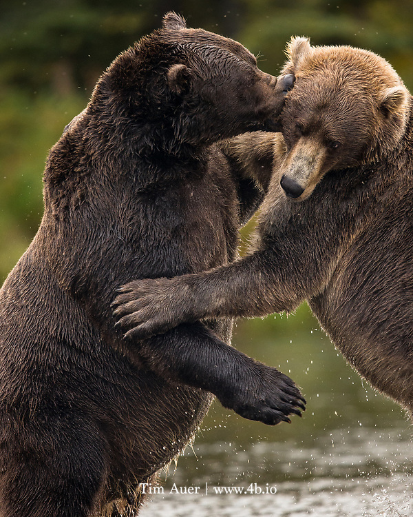 Two full grown males grapple with one another, in a playful manner, appearing to use Greco-Roman wrestling moves to take each other down,