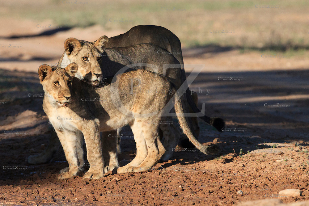 young lions at Nossob in Kgalagadi Transfrontier park South Africa<br />