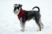 This is Ludvwig, a young miniature schnauzer.