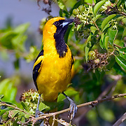 Oriole feeding by lagoon side, Crooked Tree Wildlife Sanctuary, Belize