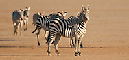 We found these zebras just after dawn on the dry lakebed of Amboseli<br />