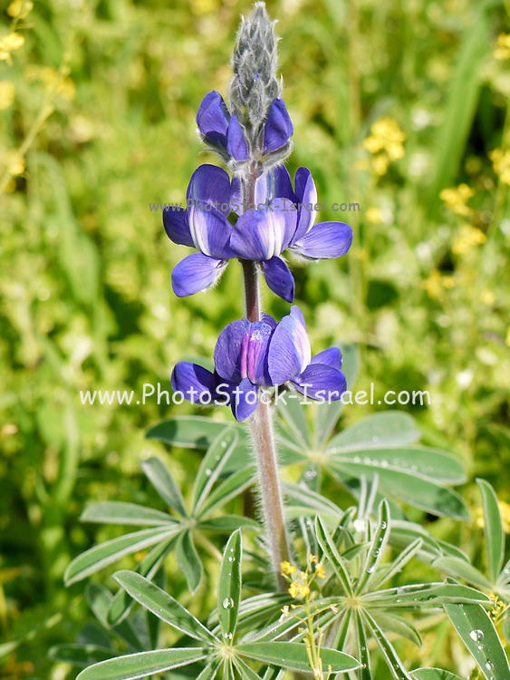 Close up of a Blue lupin - Lupinus pilosus, Israel Spring March 2009.