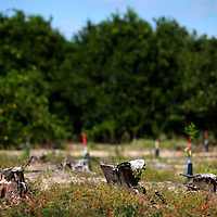 LAKE WALES, FL -- October 13, 2010 -- THree 15 year-old stumps sit chopped in the field of citrus grower Marty McKenna in Lake Wales, Fla., on Wednesday, October 13, 2010.  The housing bust left orange groves - which were scooped up by investors - unattended, overgrown and full with disease.  That disease is spreading to healthy, adjacent fields - leaving citrus growers scrambling to replant lost production.  ..ORANGES