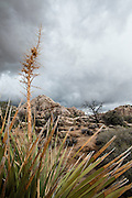 Hidden Valley, Joshua Tree National Park, minutes after receiving a heavy downpour during one of California's heaviest winter storms during 2014.