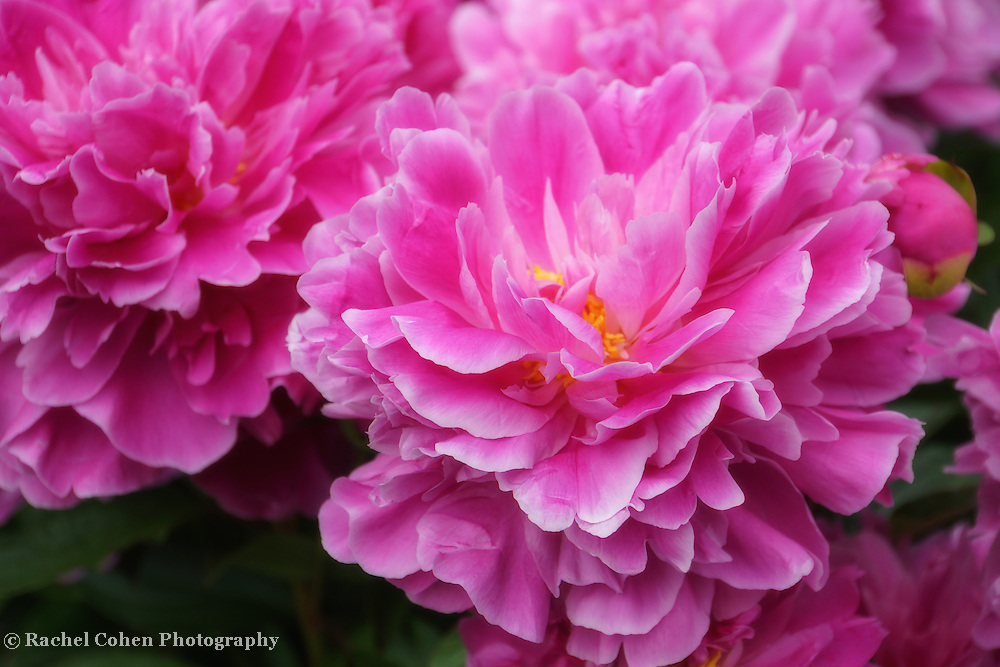 &quot;Ever So Softly&quot;<br /> <br /> Gorgeous large pink peonies!