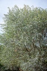 Salix alba var. sericea AGM syn. Salix alba f. argentea, Salix alba 'Splendens'. Silver willow