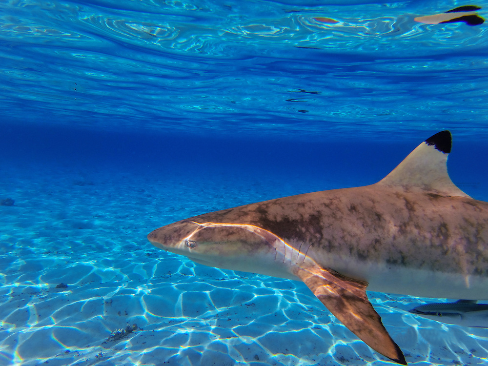 Black tip reef sharks off the island of Bora Bora, Society Islands, French Polynesia.