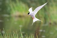 Arctic Tern (Sterna paradisaea) flying at Potter Marsh in Southcentral Alaska. Spring. Morning.
