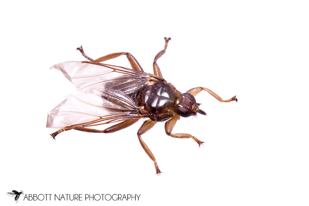 Louse Fly (Icosta americana) found on Cooper's Hawk (Accipiter cooperii)<br /> KENTUCKY: Jessamine Co.<br /> Lexington<br /> 14-Dec-2014<br /> J.C. Abbott &amp; K.K. Abbott