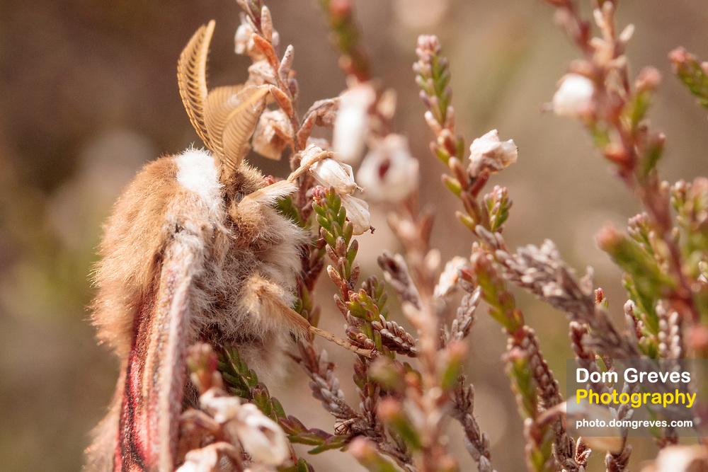 Emperor moth male (Saturnia pavonia) attracted to pheromone lure. Dorset, UK.