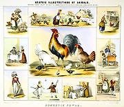 Domestic Fowl and their uses: Eggs; Meat; Feathers for bedding;  Hats; Shuttlecock.  Hand-coloured lithograph published London c1850. From 'Graphic Illustrations of Animals and Their Utility to Man'.