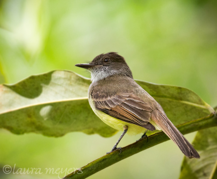 Dusky-capped Flycatcher on branch with leaf and green background photographed in Costa Rica.