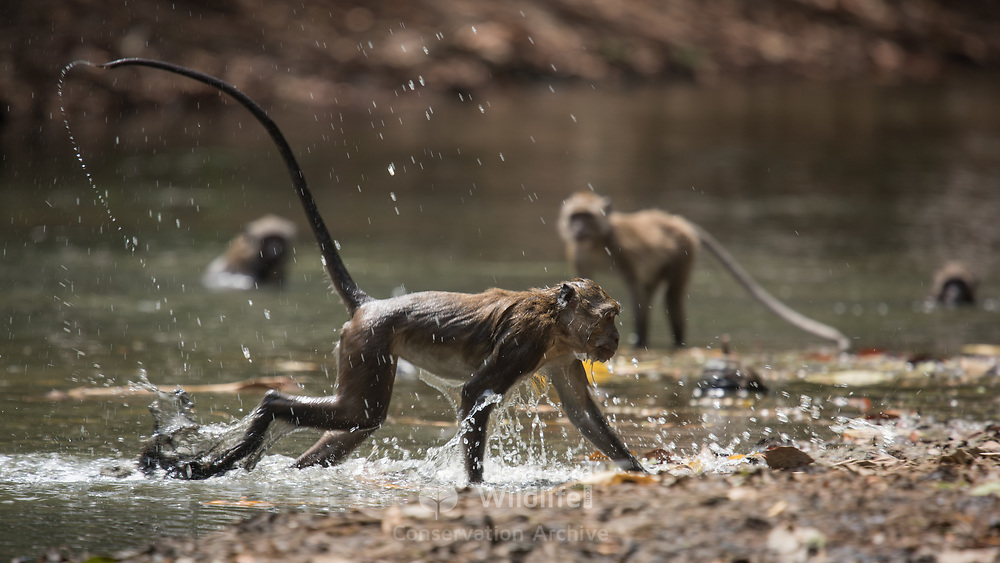 Crab-eating macaque (Macaca fascicularis) playing in the water in Mu Ko Lanta national marine park, Thailand