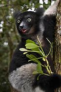 Indri (Indri indri), Andasibe, Madagaskar<br /> <br /> Feeding Indri (Indri indri), Andasibe, Madagascar