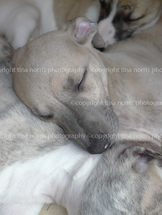 Whippet puppies. 16 May 2012. © copyright photograph by Tina Norris. No unauthorised use including web use and promotion. Please contact Tina on 07775 593 830 for extended license.