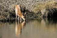 A Tule Elk calf drinks from a running creek in the Owens Valley, California