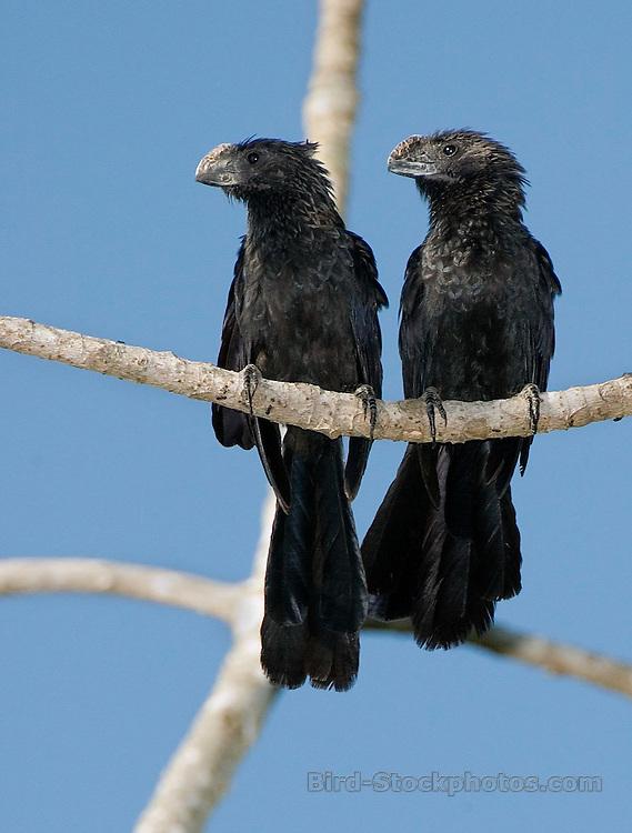 Juvenile Smooth-Billed Ani, Crotophaga ani, pair, juvenile, on branch, Pantanal, Brazil, by Owen Deutsch