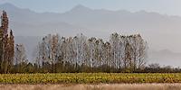 VINEDOS, ALAMOS Y CORDILLERA EN LA BODEGA SALENTEIN, VALLE DE UCO, TUPUNGATO, PROVINCIA DE MENDOZA, ARGENTINA