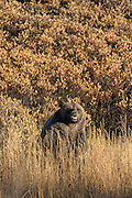 Grizzly Bear in Autumn Habitat
