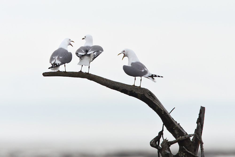 Mew Gulls (Larus canus) sitting on root of tree stump in the Susitna Flats State Game Refuge near Beluga in Southcentral Alaska during the spring migration. Morning.
