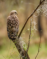 Red-shouldered hawk hunting from perch in floodplain forest in Myakka River State Park, Florida, with vines and spanish moss. © 2007 David A. Ponton