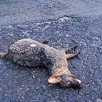 """Graxaim ou cachorro-do-mato, """"Cerdocyon thous"""" atropelado. Foto de Ze Paiva/Vista Imagens"""