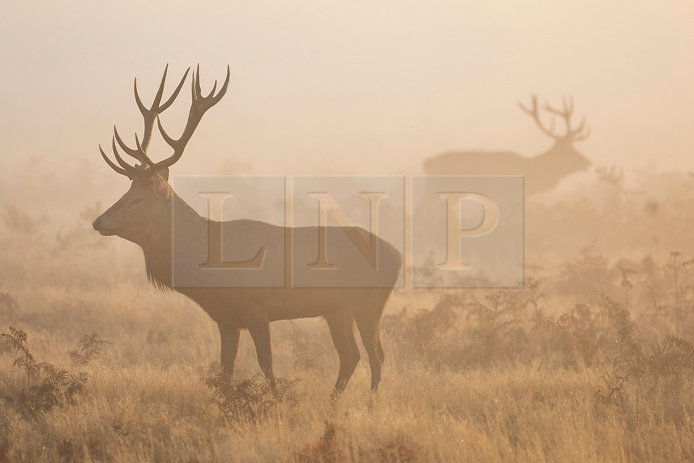 © Licensed to London News Pictures. 10/10/2018. London, UK. Deer at sunrise in Bushy Park, south London. Forecasters are expecting unusually warm temperatures for October. Photo credit: Rob Pinney/LNP