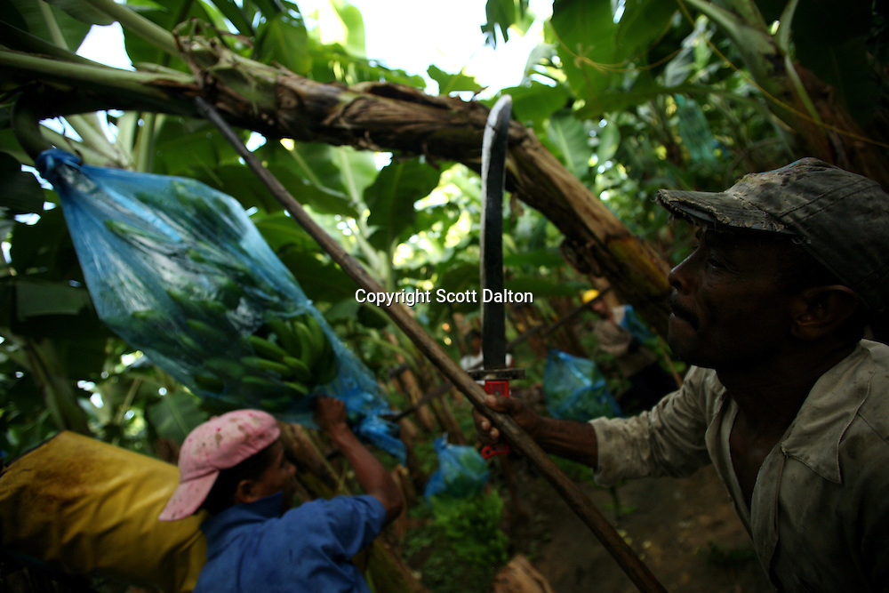 Workers cut down a stem of bananas at a Banacol plantation in Apartado on July 11, 2007. Colombia?s banana region has long a stronghold for illegal armed groups who apparently funded their wars by taxing the banana industry. American banana executives of the Cincinnati-based fruit giant Chiquita have acknowledged making monthly protection payments for six years to illegal groups that killed thousands of people. (Photo/Scott Dalton)