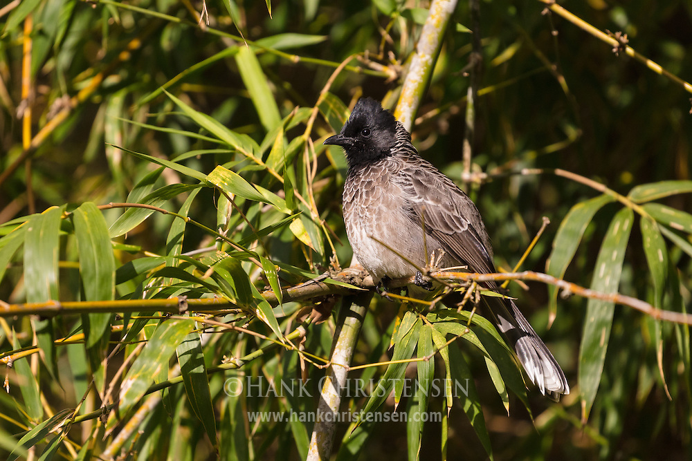 A red-vented bulbul sits on a narrow branch, Mudumalai National Park, India.
