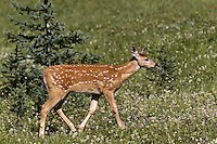We found a doe with two fawns right at the parking lot for our hike to chester lake.  Such a beautiful little deer!..©2010, Sean Phillips.http://www.RiverwoodPhotography.com