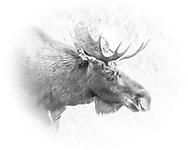Bull Moose Bull Moose, Grand Teton National Park, Wyoming