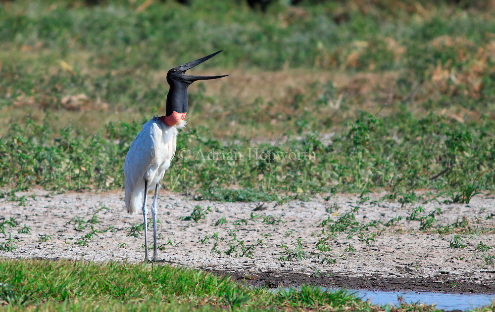 Jabiru (Jabiru mycteria) near River Tempisque, Guanacaste, Costa Rica. <br />