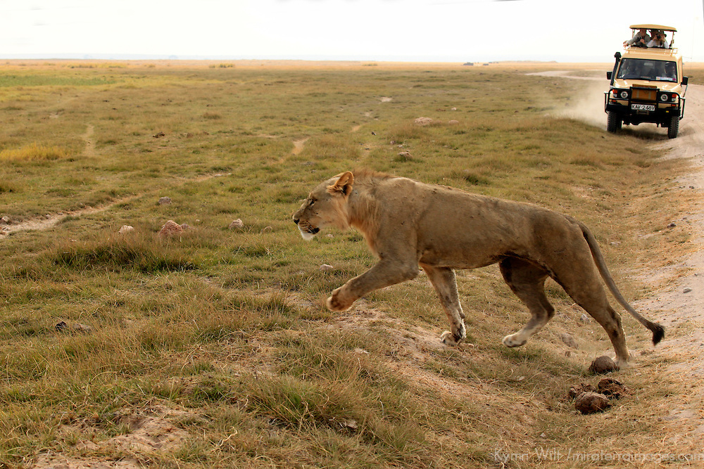 Africa, Kenya, Amboseli. Lion crossing by jeep in Amboseli.