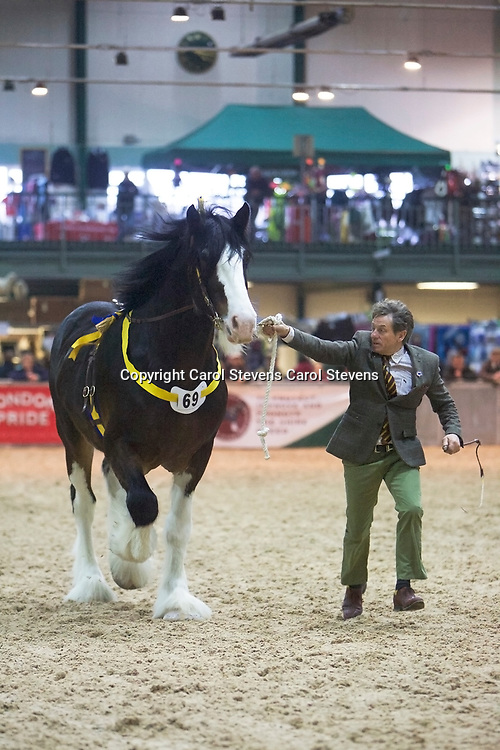 William Bedford's LANDCLIFFE CHARLIE  f 2014<br /> Sire  Martonian Norman<br /> Dam  Landcliffe Wendy<br /> 2nd  Class 17  Stallions  3 years old<br /> Reserve Junior Champion Stallion