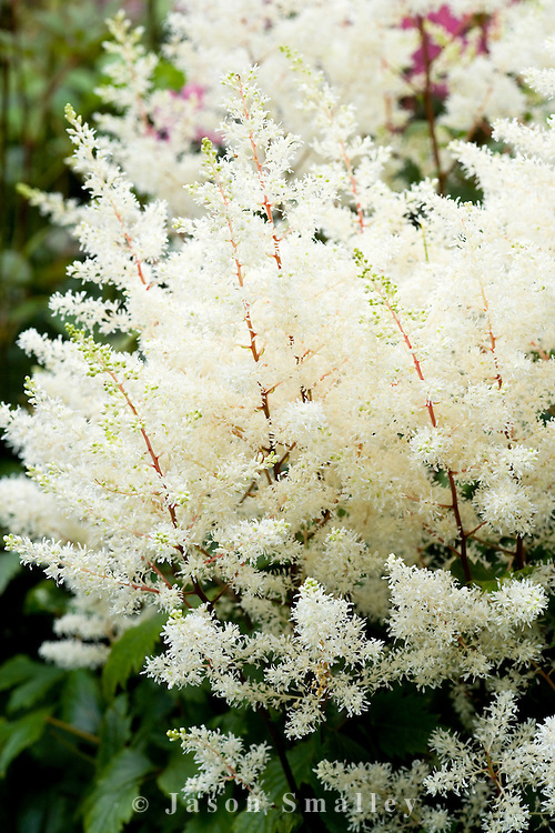 flowers of a white astilbe