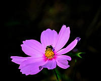 Cosmos Flower. Image taken with a Fuji X-H1 camera and 80 mm f/2.8 macro lens + 1.4x teleconverter