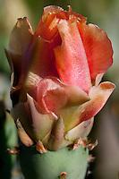 Prickly Pear near Lake Medina, Medina County, TX