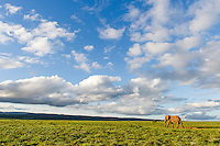 African Elephant bull wandering across the vast open grasslands during late afternoon, Addo Elephant National Park, Eastern Cape, South Africa
