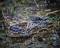 Alligator with a Catfish for dinner at Clyde Butcher's Gallery and Swamp Cottage. Winter Nature in Florida Image taken with a Nikon D4 camera and 80-400 mm VRII telephoto zoom lens