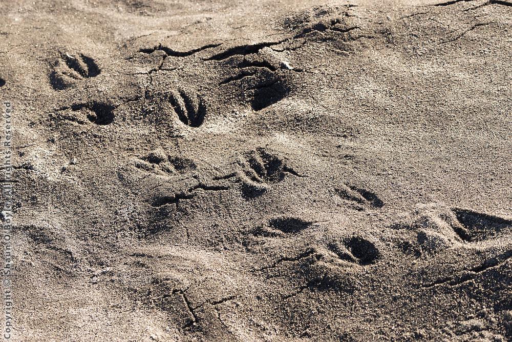 Adelie Penguin footprints, Cape Royds
