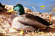 A male mallard enjoys the warm afternoon sun on a chilly autumn day.<br />